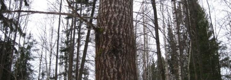Выбираем породу дерева для строительства бани