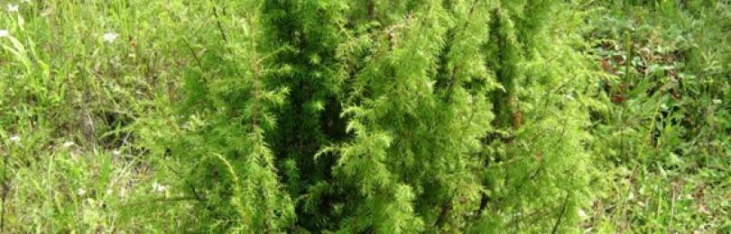 Веник из можжевельника — полезно и необычно