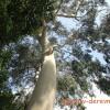 Веник в парную из эвкалипта