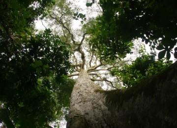 Древесина из Африки — просим потесниться